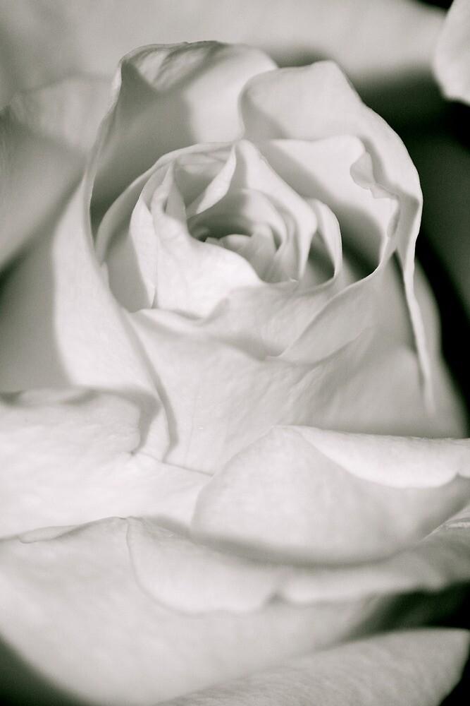White Rose by Breannac2005