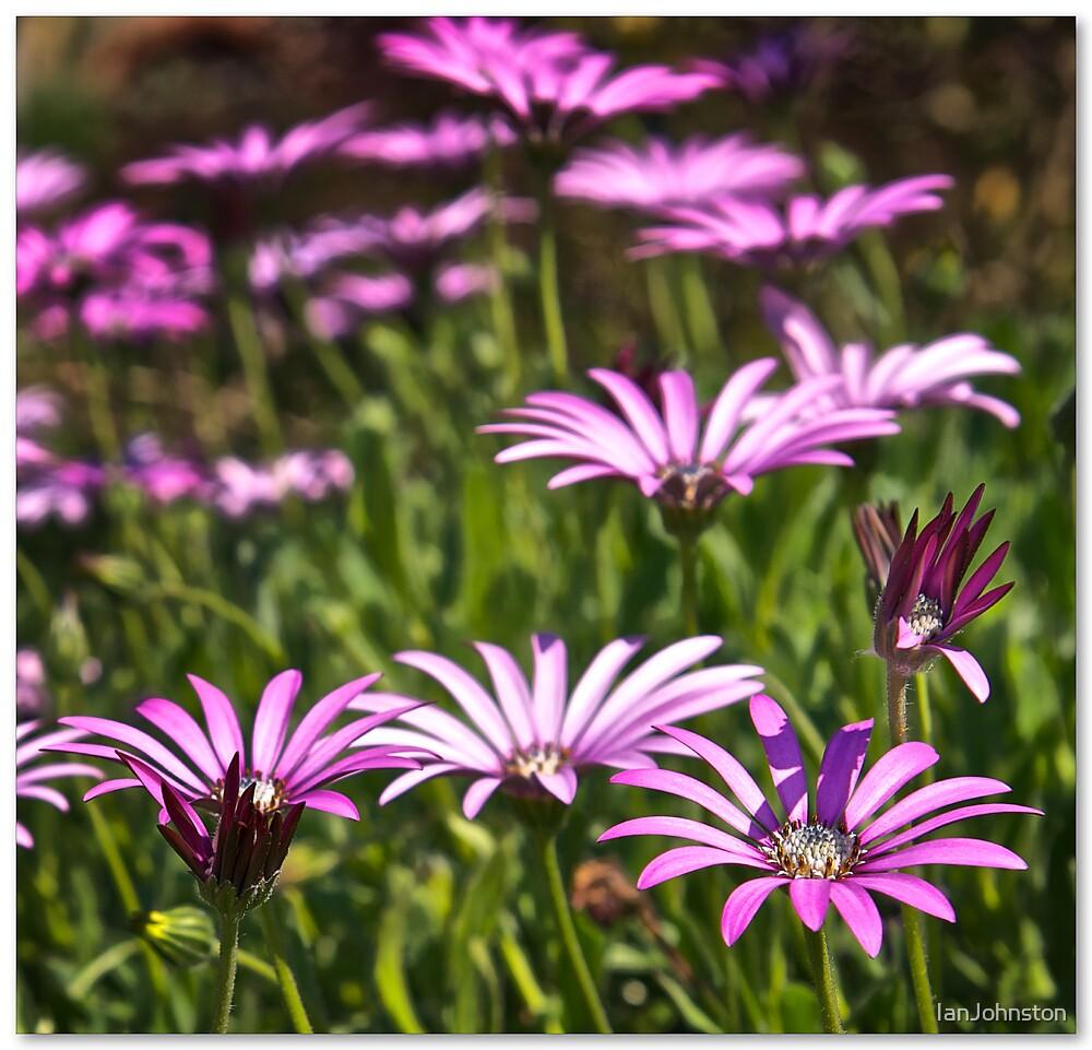 Purple & White by IanJohnston