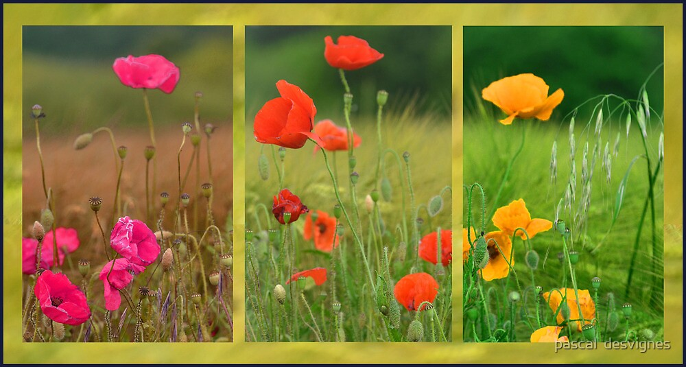 poppies variation by pascal  desvignes
