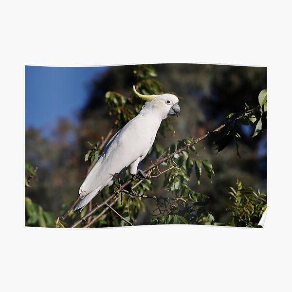 Sulphur-crested Cockatoo, Bungendore, Australia 2013 Poster