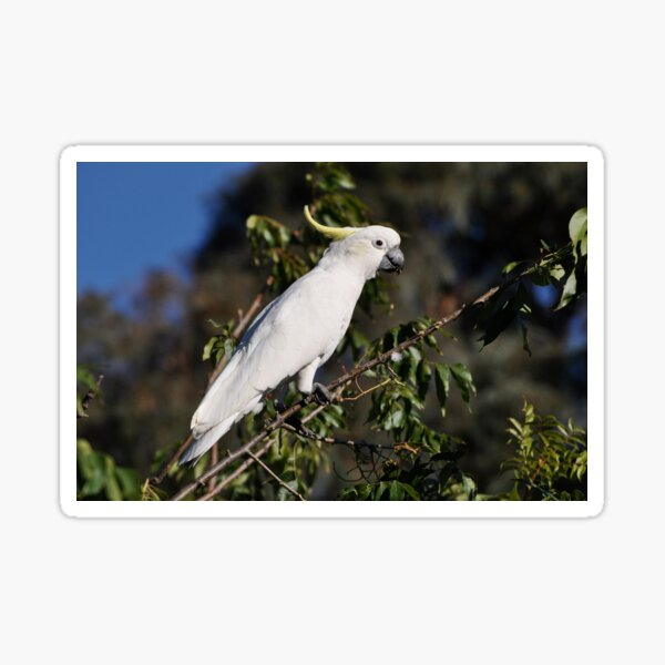 Sulphur-crested Cockatoo, Bungendore, Australia 2013 Sticker