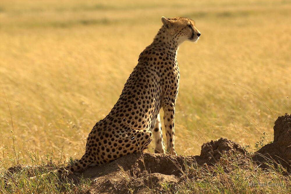 Cheetah in Serengeti National Park by Michal Cerny