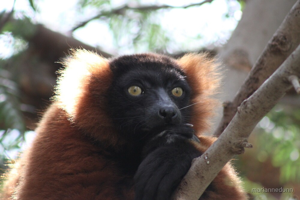 Lemur by mariannedunn