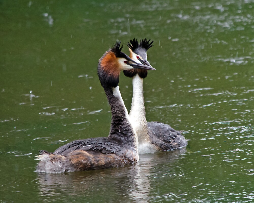 Great Crested Grebes by Paul Spear