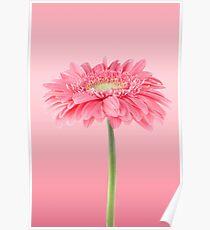 Pink gerbera daisy flower Poster