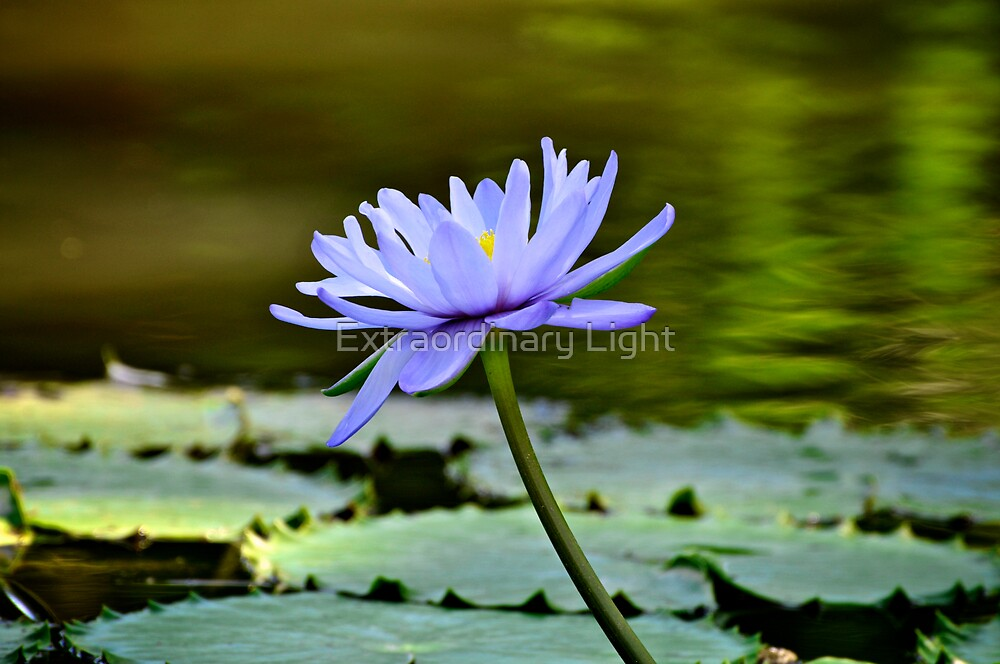 Beauty on the pond by Extraordinary Light