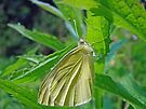 White Cabbage Butterfly - Pieris rapae by MotherNature