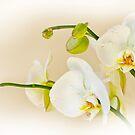 Orchid by Mick Kupresanin