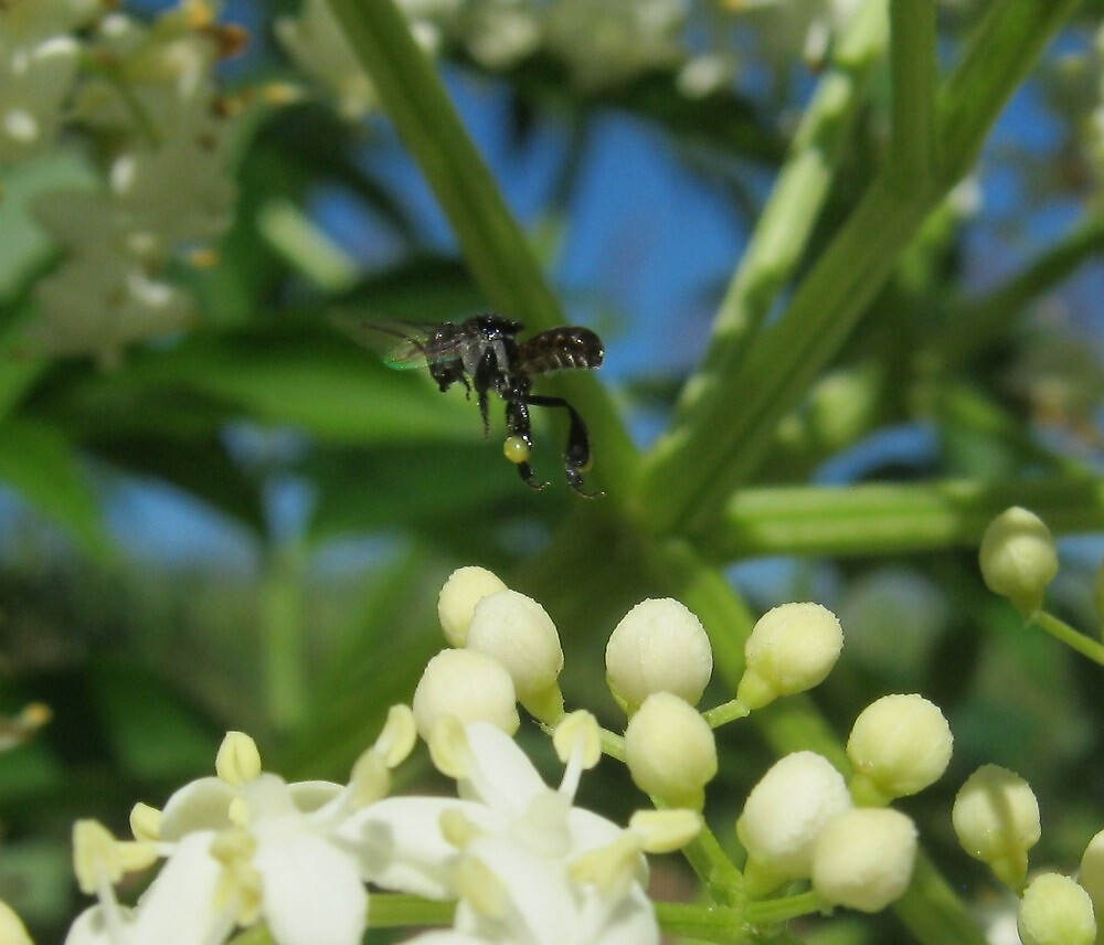 Native Bee In Elderberry by lynareid
