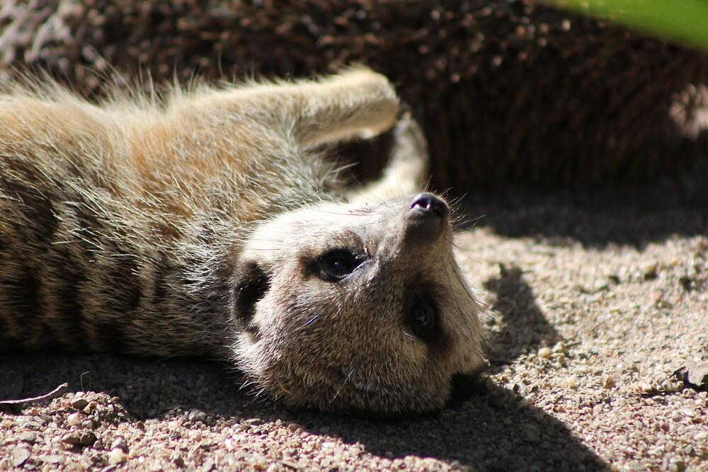 Meerkat by knelliec