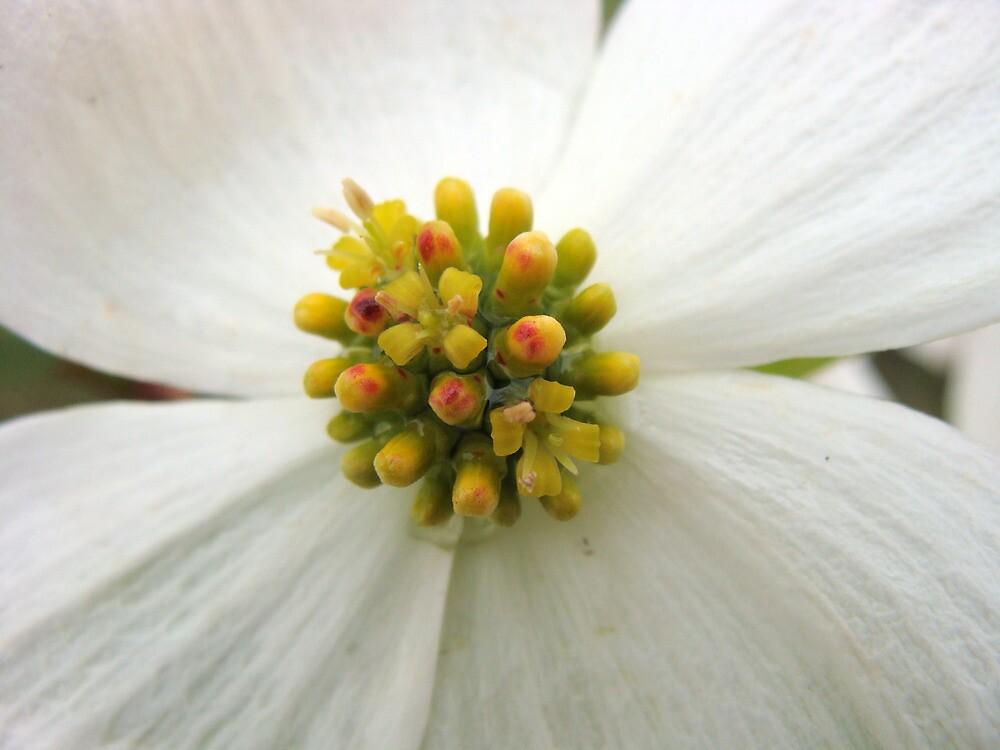 Dogwood flower by Karlim