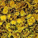 Dandelion by macragraphics