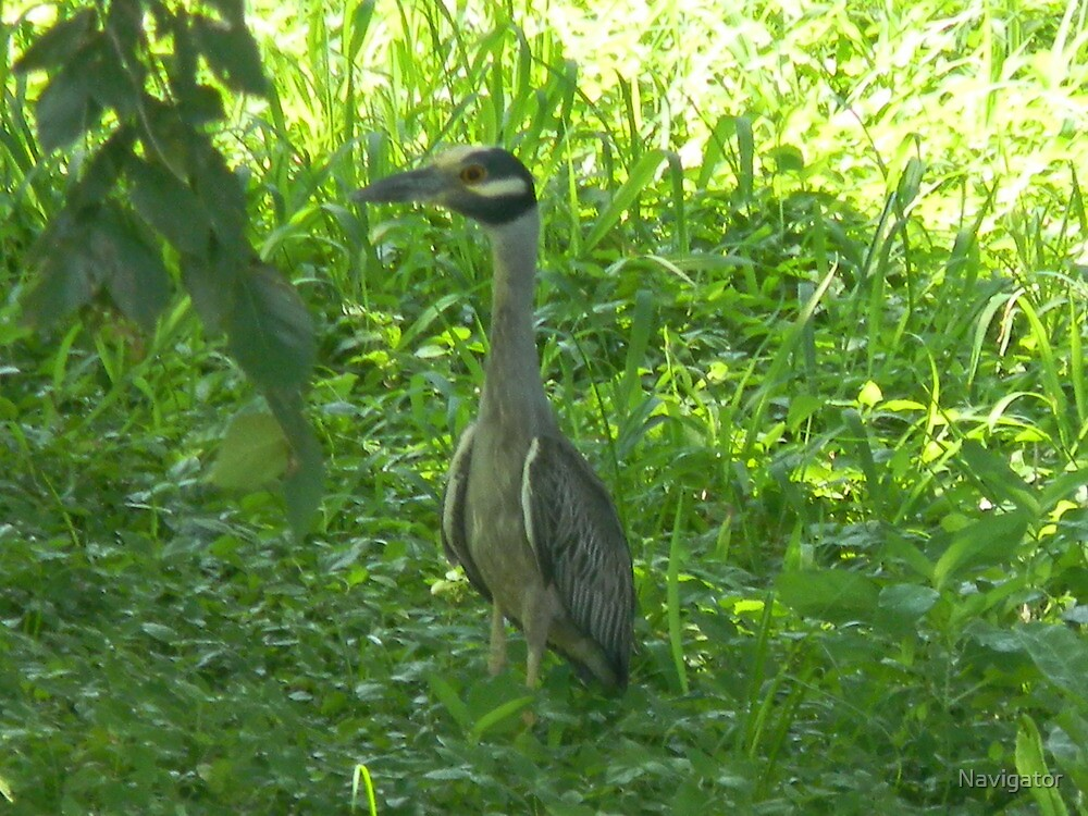 Yellow-Crowned Night Heron Being Friendly by Navigator