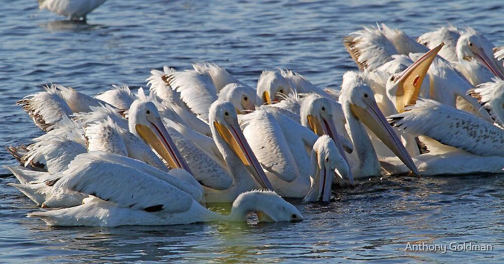 A white pelican feeding frenzy by Anthony Goldman