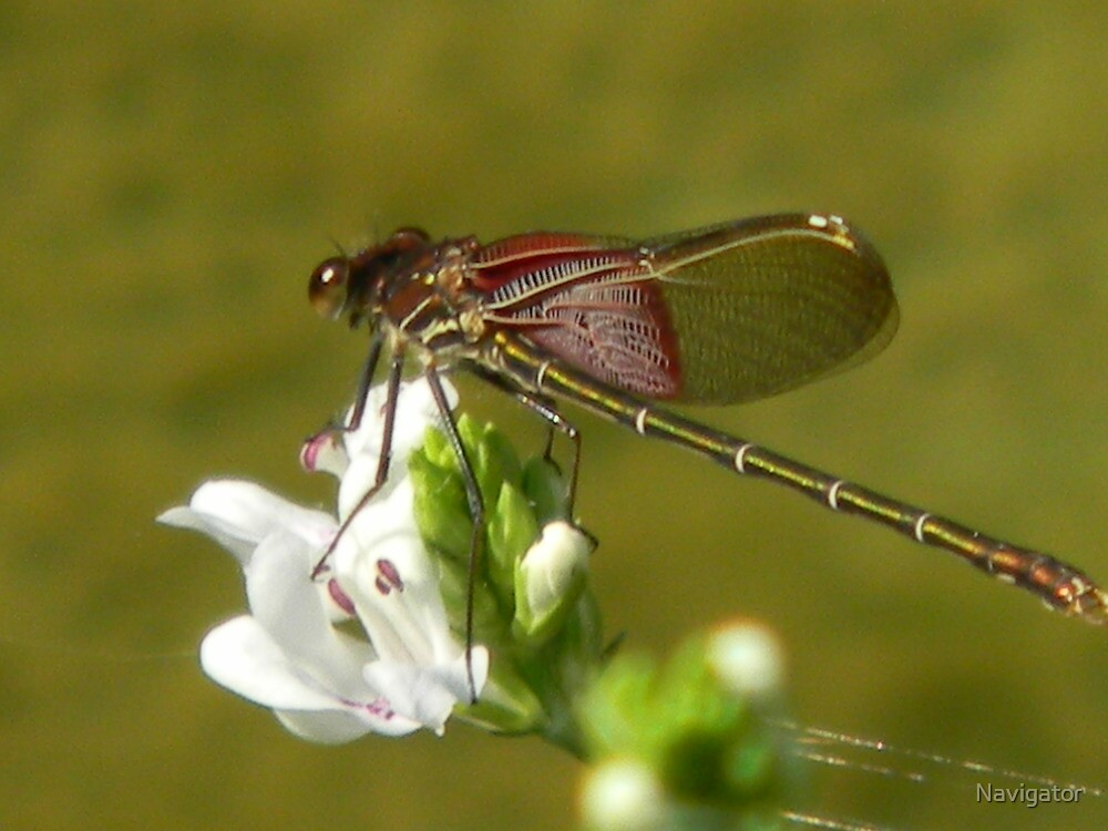 Dragonfly Rests on Water Willow by Navigator