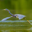 Tricolored Takeoff by Daniel  Parent