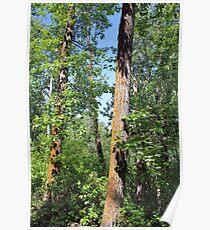 Leaning poplars Poster