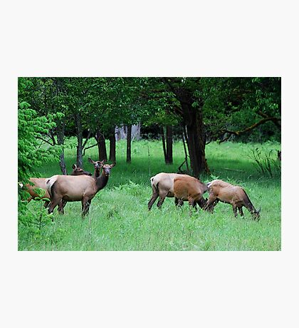 A Band of Cow Elk Photographic Print