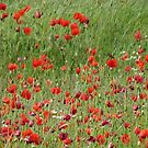 Field if wild poppies by Photos - Pauline Wherrell