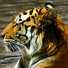 Tiger lounging in water at the zoo by agenttomcat