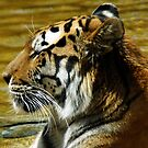 Tiger lounging in water at the zoo unaltered by agenttomcat