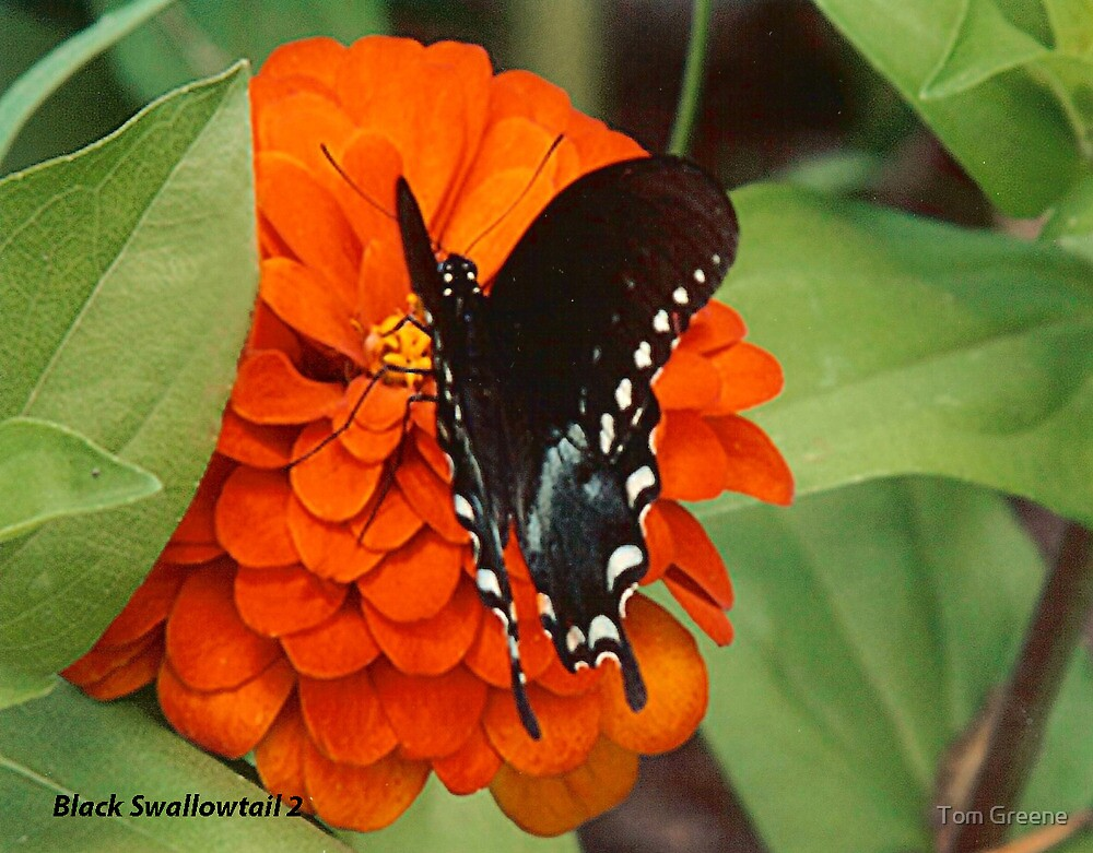 Black Swallowtail 2 by Tom Greene