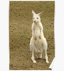 Albino Kangaroo Poster