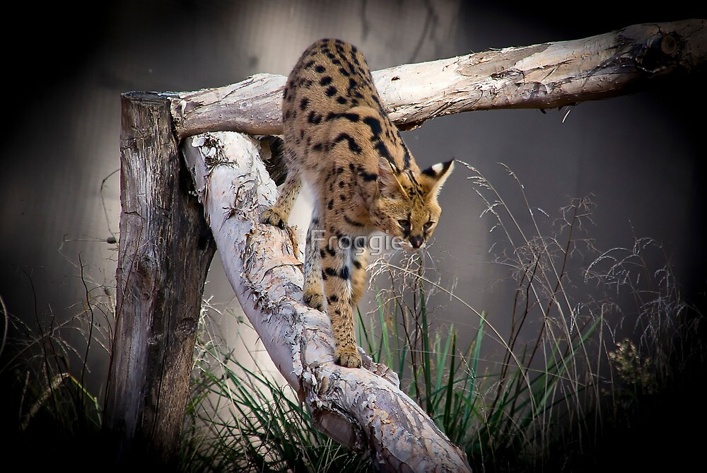 Young Serval by Froggie