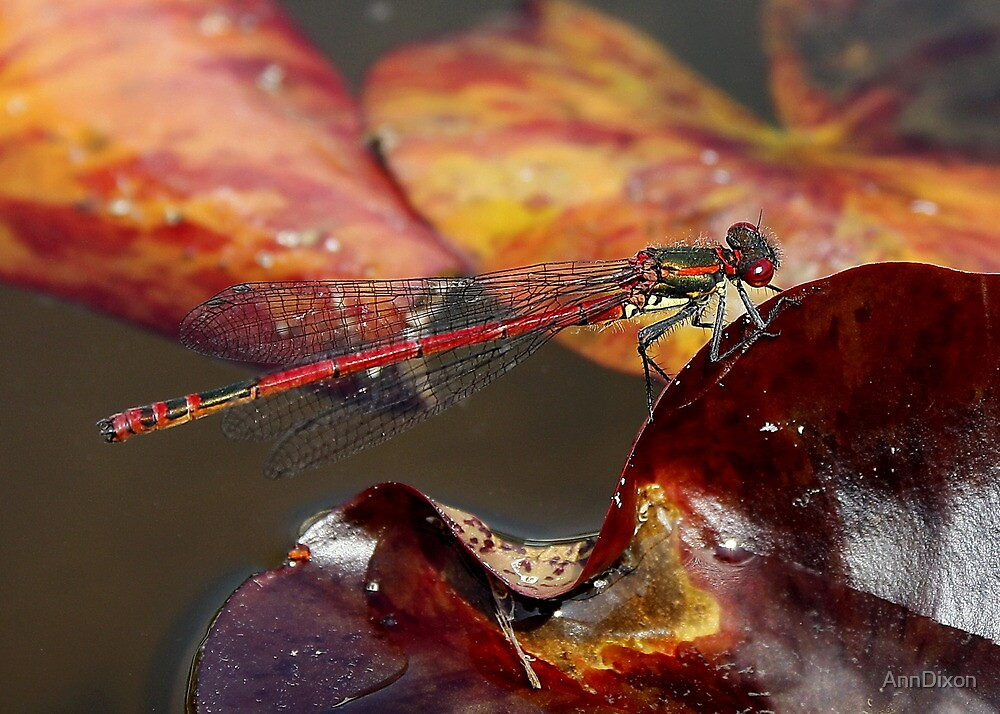 Large Red Damsel Fly by AnnDixon