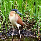 Night Heron by Andrew S