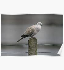 Collared Dove Poster