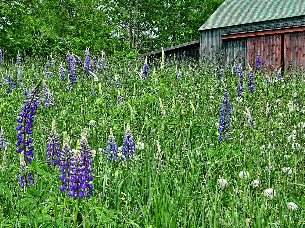 June In Maine by Carolyn  Fletcher