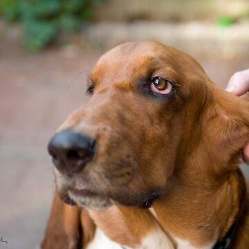 my Basset Hound, Knuckles :) by eelsblueEllen