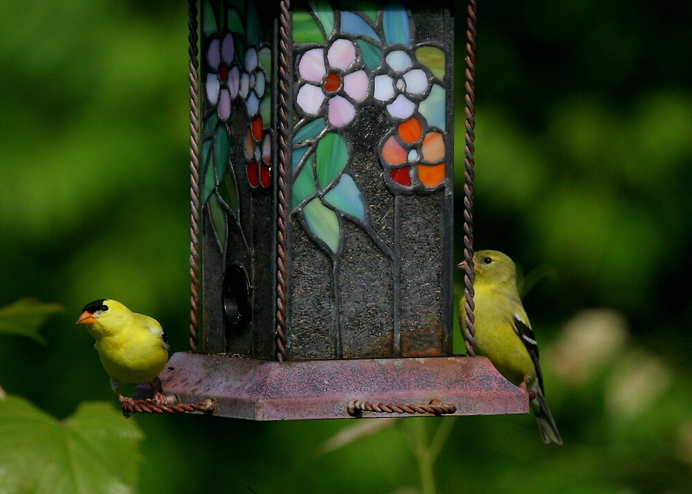 American Gold Finch Pair at Thistle Seed Feeder by Paula Tohline  Calhoun