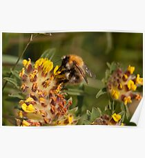 Common Carder Bee  Poster