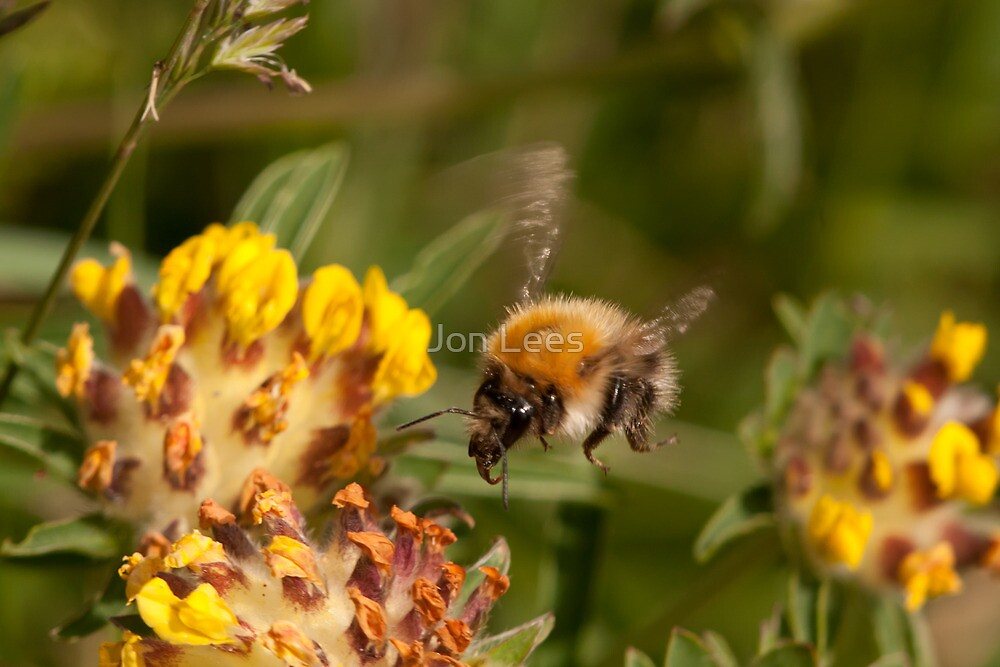 Common Carder Bee in flight by Jon Lees