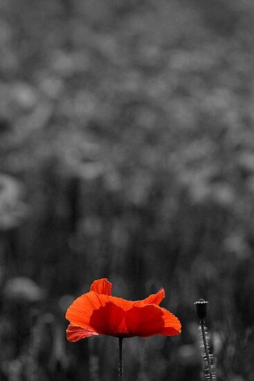Lone Poppy by Mike Doyle