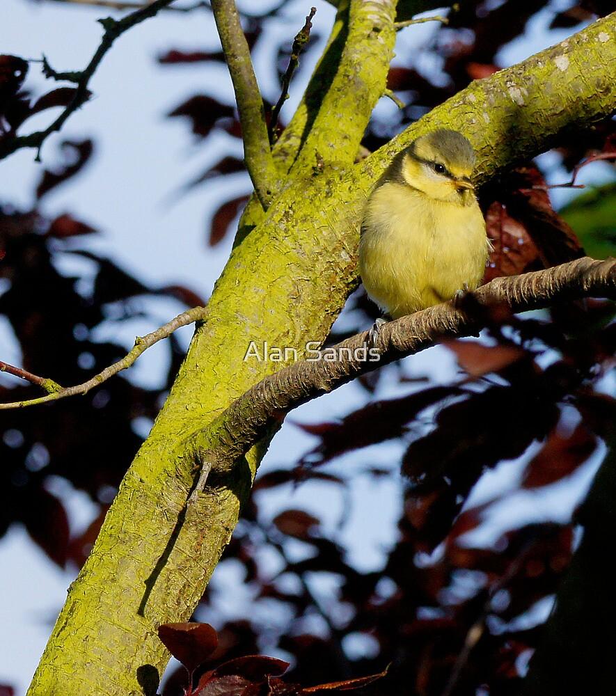 Blue tit fledgling by Alan Sands