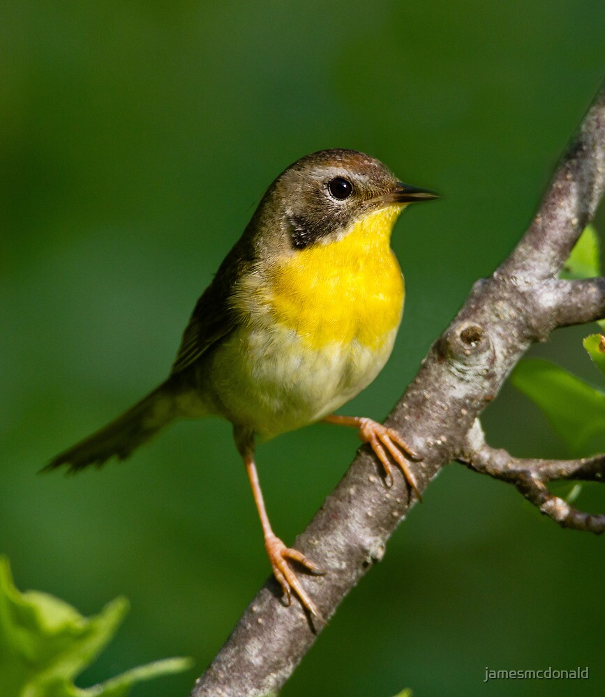Common Yellow throat by jamesmcdonald