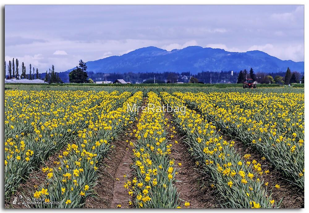 Fields of daffodils by MrsRatbag