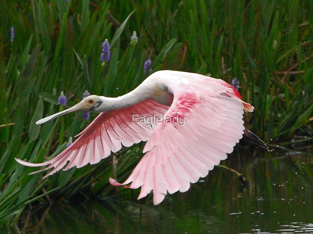 Roseate Spoonbill by Eaglelady
