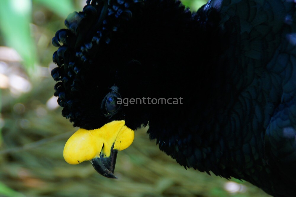 Yellow-knobbed curassow at the zoo by agenttomcat
