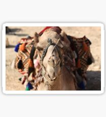 Close-up portrait of a camel, Negev, Israel Sticker