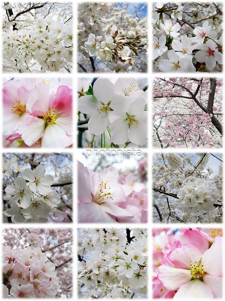 Cherry Blossoms Montage 1 by photonista