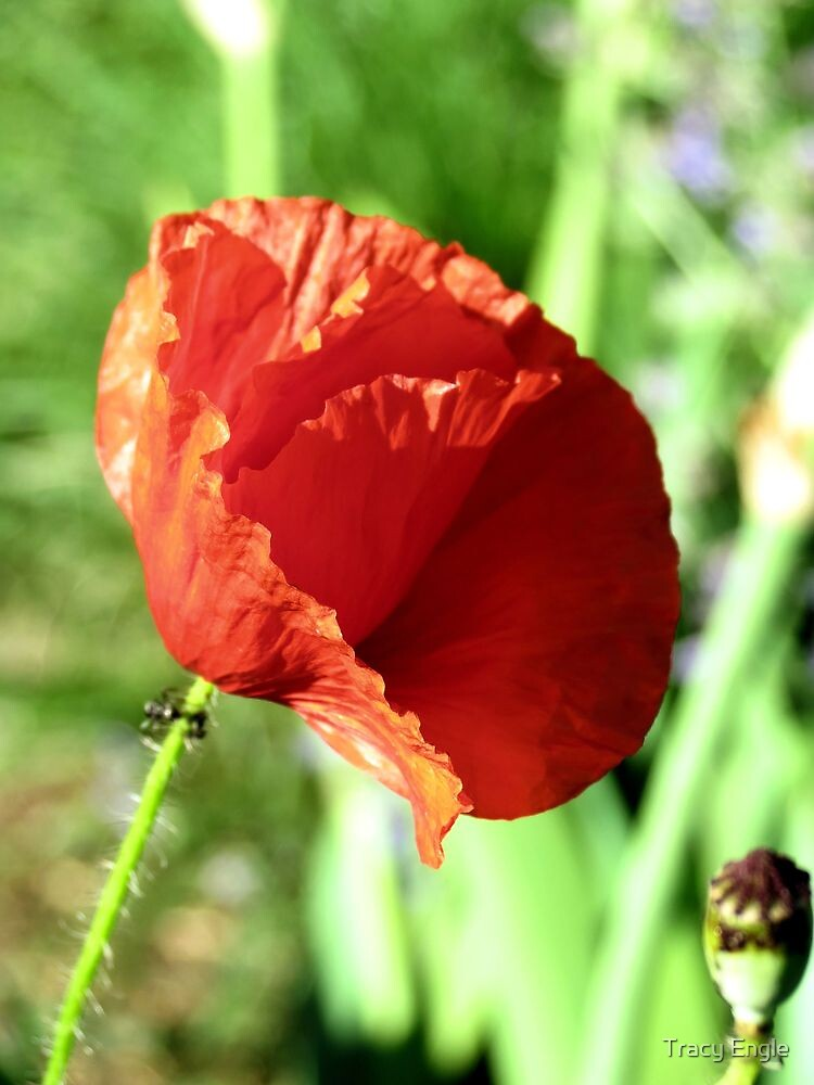 Red Poppy by Tracy Engle