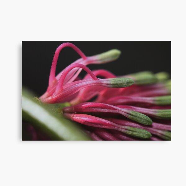 Grevillea petrophiloides subsp. petrophiloides Canvas Print