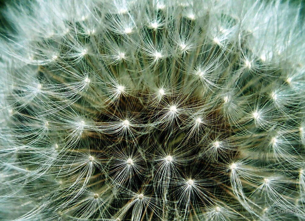 You can wish on a dandelion gone to seed by lorainek
