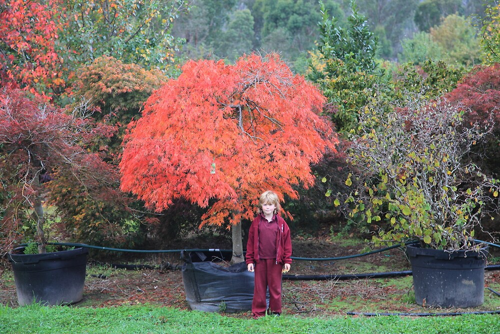 Acer Palmatum Dissectun Viridis. by Streamline trees streamline trees.