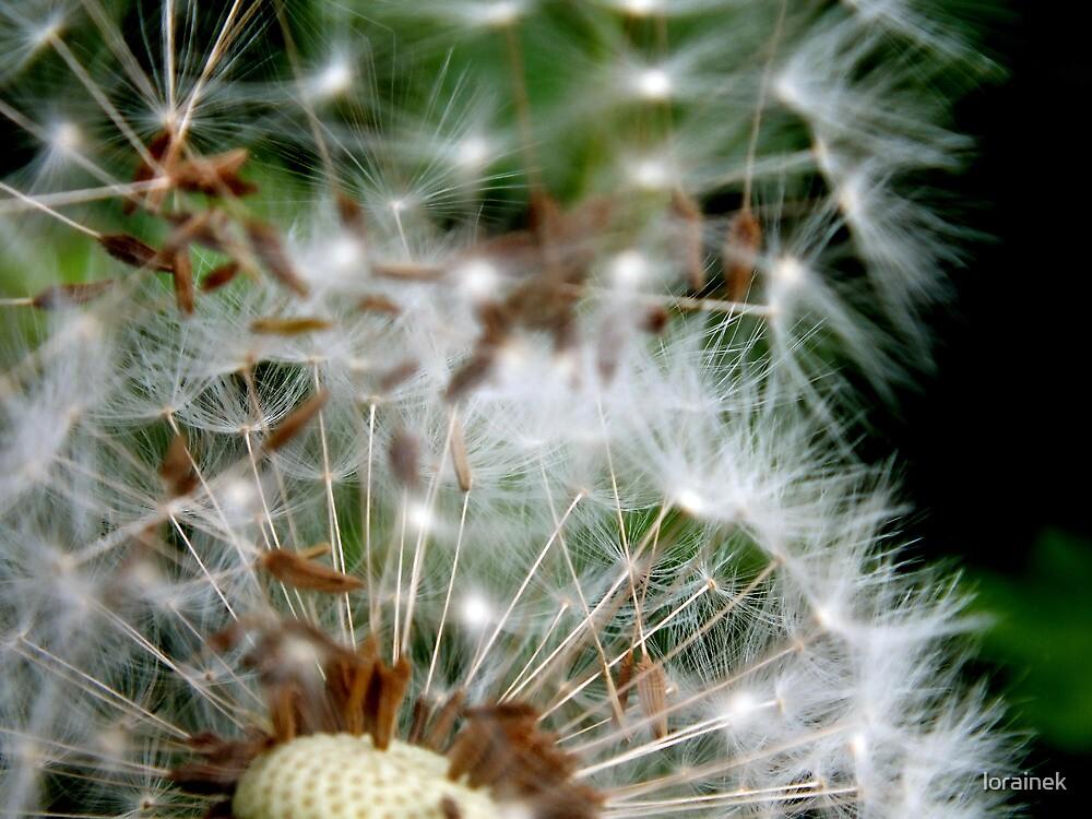 Wish upon a dandelion by lorainek