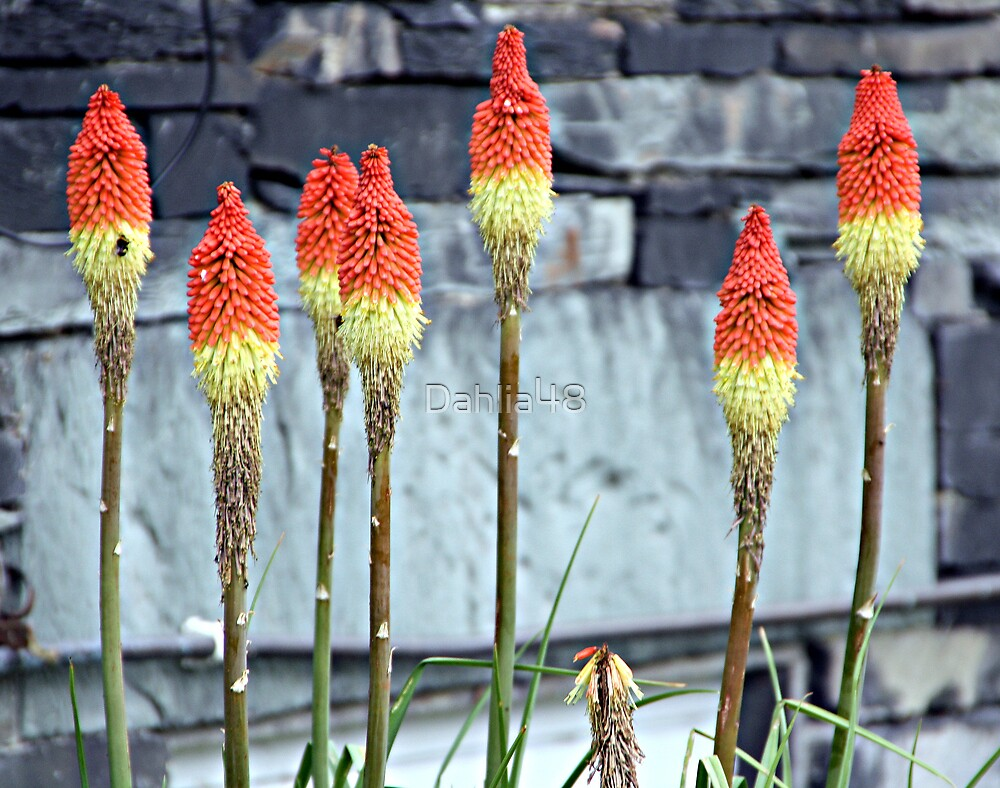 RED HOT POKERS . by Dahlia48